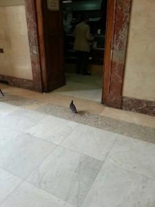 piccione_comune