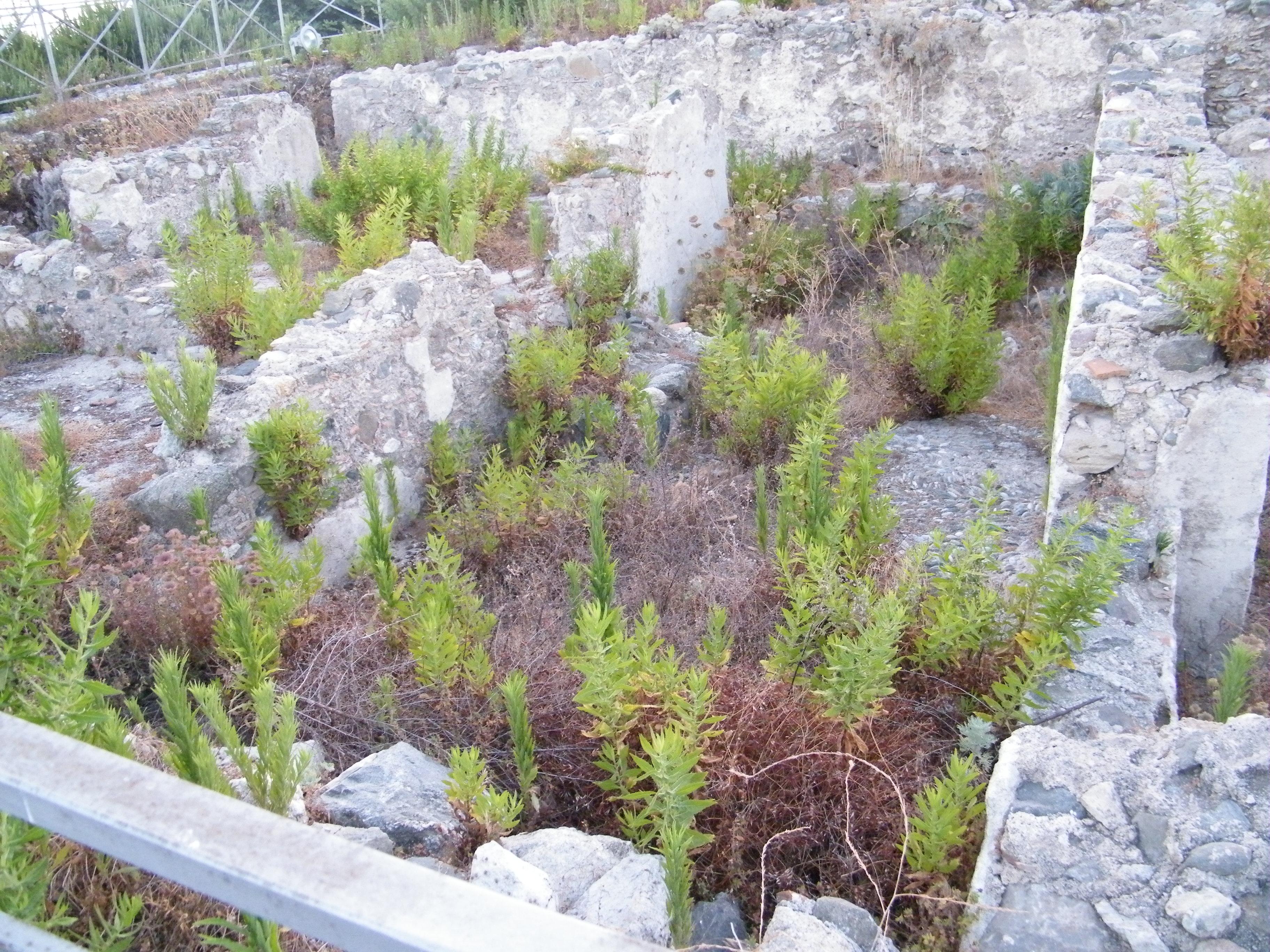 erbacce negli scavi archeologici